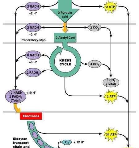 what is the number of atp produced in glycolysis