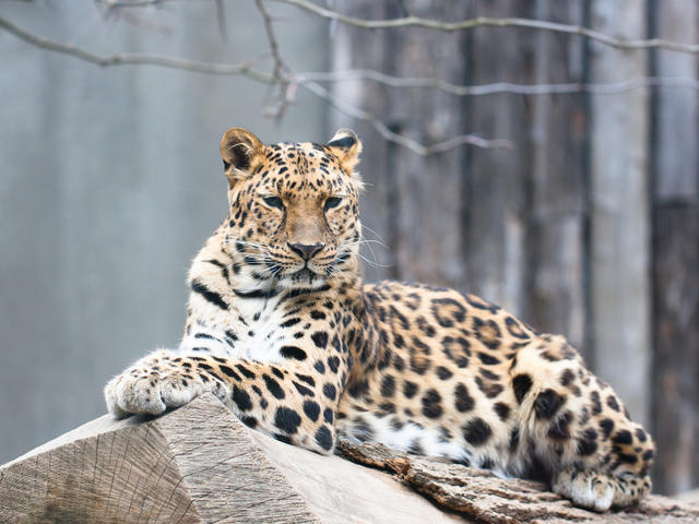 how many amur leopards are left in the world photo - 1