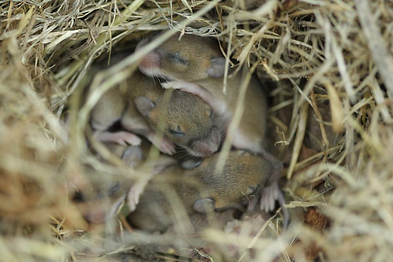 how many mice are born in a litter photo - 1