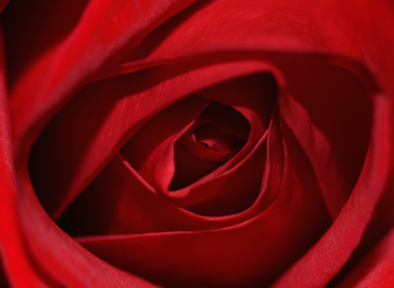 how many petals does a rose have photo - 1