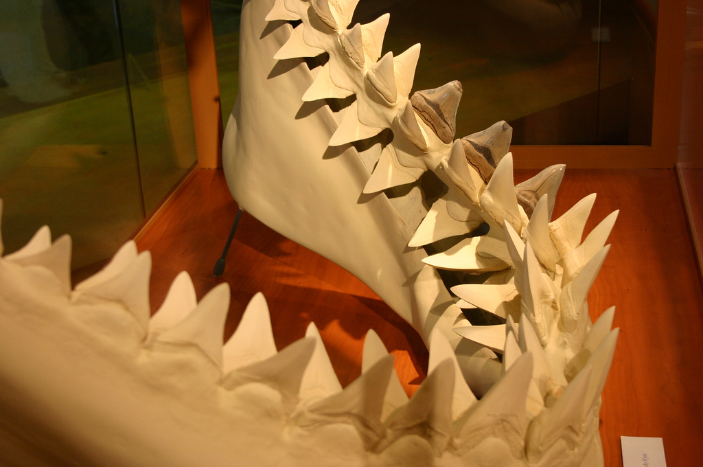 how many teeth do great white sharks have photo - 1